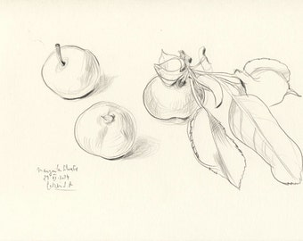 "Apples N.6 pencil drawing ORIGINAL line drawing of apples A4 Size (8 x 11""). Apple pencil still life by Catalina S.A"