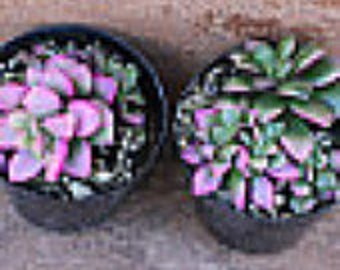 Small Succulent Plant  Two Anacampseros Sunrise Succulents