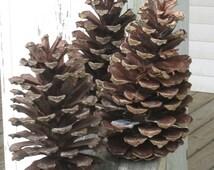 Large Pine Cones - Rustic Wedding Decor - Natural South Georgia Long Leaf Pine Cones - Rustic Craft Supply - Georgia Grown Extra Large Cones