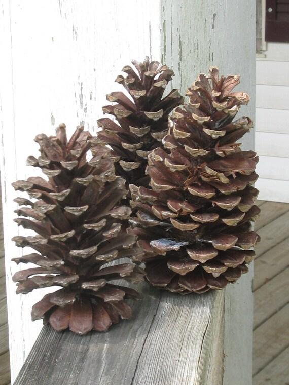 Large pine cones natural south georgia long leaf pine cones for Long pine cones