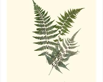 Japanese Painted Fern Origianl Botanical Print