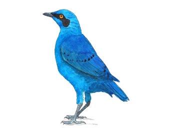 Blue Eared Glossy Starling- watercolor bird art print nursery woodland forest songbird animal art animal watercolor wildlife art 5x7+