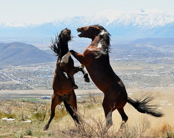 Wild Horses Fighting. Wild Mustangs Fighting.  Wild Stallions in Desert Horse Photograph
