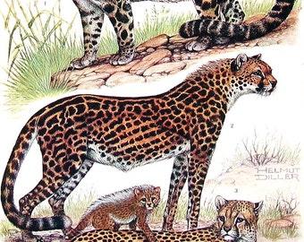 Animal Print - Clouded Leopard, King Cheetah, China Tiger, Bengal Tiger, Siberian Tiger - 1968 Vintage Print - Mammals from Encyclopedia