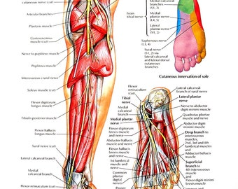 Anatomy Print - Tibial Nerve, Common Peroneal Nerve - Human Foot - Human Anatomy - 1989 Vintage Book Page - 12 x 9
