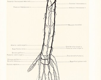 1899 Human Anatomy Print - Circulation of Arm - Vintage Antique Medical Anatomy Art Illustration for Doctor Hospital Office