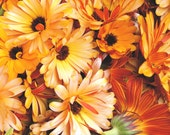 Organic Calendula Seed // Calendula Officinalis // Pot Marigold // Packet of 50 Seeds