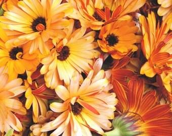 Organic Calendula Seed // Calendula Officinalis // Pot Marigold // Packet of 50 Seeds