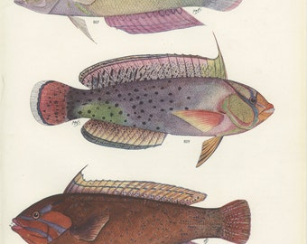 Spotted Tail Wrasse, Red Coris, Rainbow Wrasse, Vintage Print, 1950's Margaret Smith 58 Ichthyology Print, Fishing Decor, Kitchen Decor