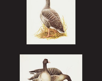 SET of TWO Vintage DUCK prints, wild Gooses