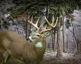 White Tail Deer Eight Point Buck in the Pines in Southwest Michigan No.112302 A Fine Art Wildlife Animal Nature Photograph