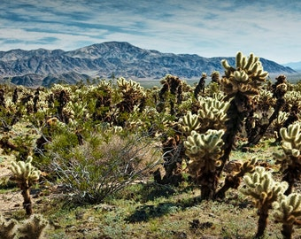 Teddy Bear Cholla Cactus in Joshua Tree National Park in California No.0253 - A Desert Landscape Photograph