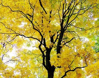 Beautiful Golden Tree - Michigan Autumn Photography, Fall Fine Art Photography