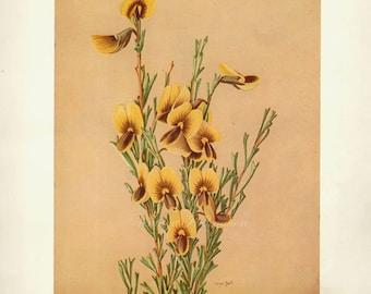Vintage Botanical Print Antique Australian Flowers, red plant print botanical lithograph print bookplate wall art print flower plants