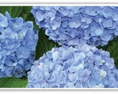 Iphone Case, Iphone 4/4s, Iphone 5/5s, Iphone 6, Blue Hydrangea