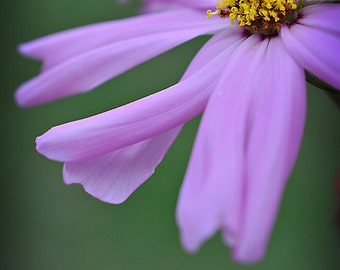 Purple Flower Photograph, Cosmos Photography, Vertical Wall Art, Botanical Flower Macro Photo, Lavender and Green Floral Nature Photo Print