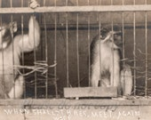 Vintage Photo Postcard Monkeys