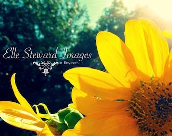 Sunned Flower { Digital Download } Fine Art Photography