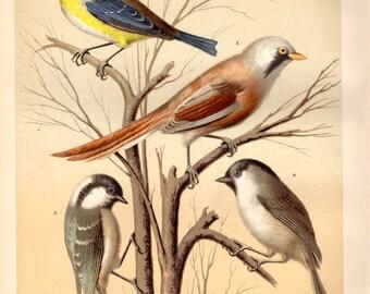 1878 Antique Bird Print Titmouse Lithograph Ornithology Home Decor Vintage Bird Print