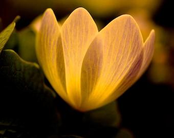 Fine Art Photography, Macro Photography, Nature Art, Wall Art, 5 x 5 Print, Home Decor, Bloodroot Plant, Gold, Green, Black