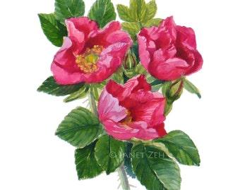 Roses Botanical Print Rosa rugosa Watercolor Fine Art Illustration by Janet Zeh Original Art