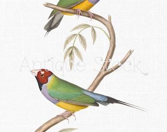 Gouldian Finch Bird Antique Image - Rainbow Finch Drawing - Bird Illustration Clip Art Printable 1849