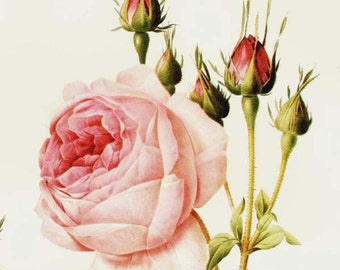 Great Cabbage-leaved Rose Redoute Rosa Centifolia Bullata Vintage Flower Botanical Lithograph Poster Print To Frame 50