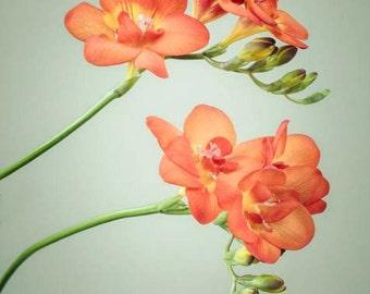 Floral Art Print, Still Life Photography, Modern Wall Decor, Flower Photograph, Freesia Flower Wall Art, Wall Decor