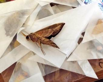 Unmounted Dried Moths - Lot of 10