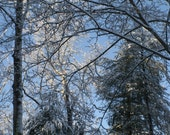 Snow covered trees  stock photo image free use