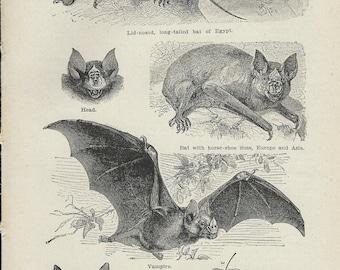 1917 Vintage Book Plate - Bats / Vintage Illustration  / Vampire Bat / Long Tailed Bat Of Egypy