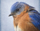 Bluebird Photograph, Bird Print, Nature Photography, Woodland Animal, Wing, Feather, Blue, Brown, 8x8, 10x10, 12x12 - Bluebird Study