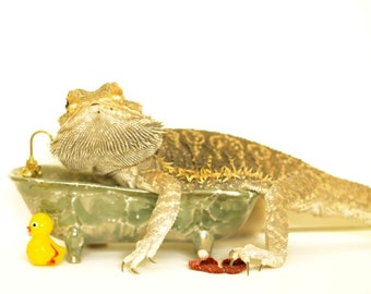 Bearded Dragon As An Adult In The Tub  Children's Decor Natural History Cover Dragon Lizard