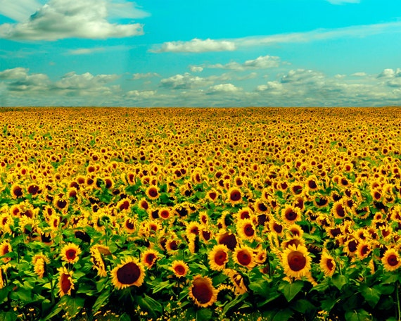 Sunflower, mustard yellow, sunflowers, cobalt blue, flower photography, big sky country, horizon, infinity, midwest, prairies, landscape