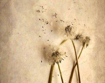 dandelion puffball seedlings nature print home decor