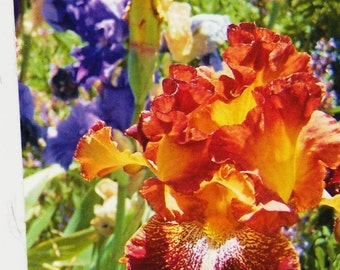 Photography of an Iris flower among others   ACEO small photo memory deep reddish orange and yellow floral