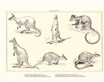 1903 Animal Print - Kangaroos - Vintage Antique Home Decor Book Plate Art Illustration for Framing 100 Years Old