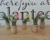 Tiny Wooden Urn, Air Plant and Message Tag, Optional Gift Box Presentation Available