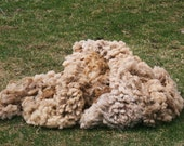 wool fleece, all natural, CVM/Romeldale cream/brown . . .