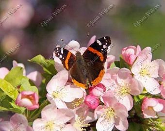 Red Admiral Butterfly on Spring Pink Cherry Apple Blossoms Fine Art Photography Photo Print