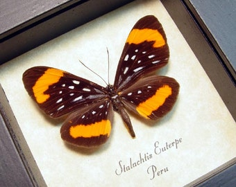 Real Framed Stalachtis Euterpe Orange Spotted Leopard Butterfly 8174