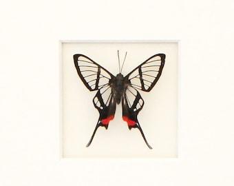 Real Framed Bee Butterfly Chorinea faunus Species