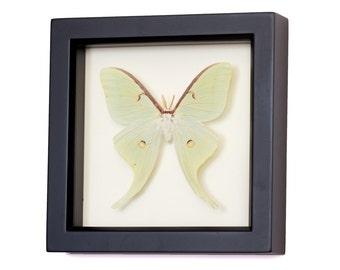 Real Framed Luna Moth Natural History Display F1177