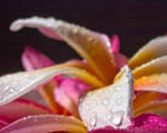 1 oz  Plumeria Blossom Fragrance Oil