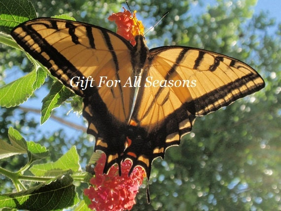 Swallowtail Butterfly on Lantana-5x7 Original Photograph