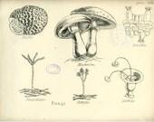 Truffle, Antique Botanical Print, 1874, Fungi, Mushroom, Botrytis, Plate 108, Natural History, Vegetable Kingdom, Hand Colored