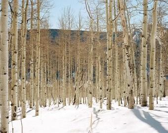 Aspen Trees--2