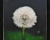 Photo Block Dandelion Wood Transfer Panel - Nature Fine Art Photography  -  Wall, Shelf, Desk Decoration