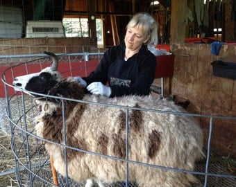 Gabrielle's Lovely Jacob Sheep fleece