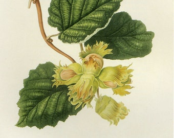 Cob Nuts Print by William Hooker Book Plate SALE Buy 3, get 1 free